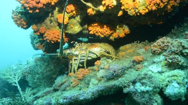 vídeos de stock e filmes b-roll de caribbean spiny lobster. - lagosta