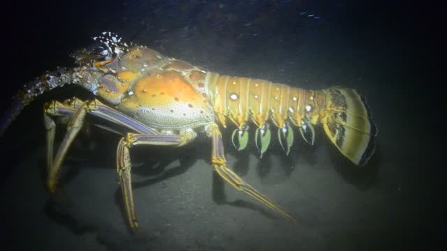 caribbean spiny lobster. - lobster stock videos & royalty-free footage