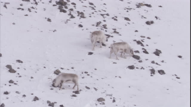 caribou forage for lichen from rocks in the snow. - svalbard and jan mayen stock videos & royalty-free footage