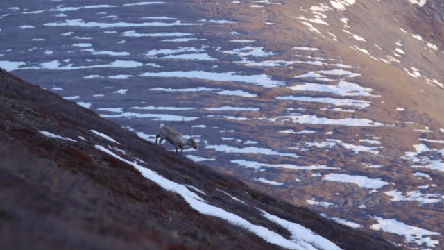 caribou from porcupine caribou herd migrates through alaska - wildlife reserve stock videos & royalty-free footage