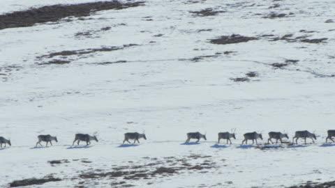 vídeos de stock e filmes b-roll de caribou herd marching in a long line - ártico