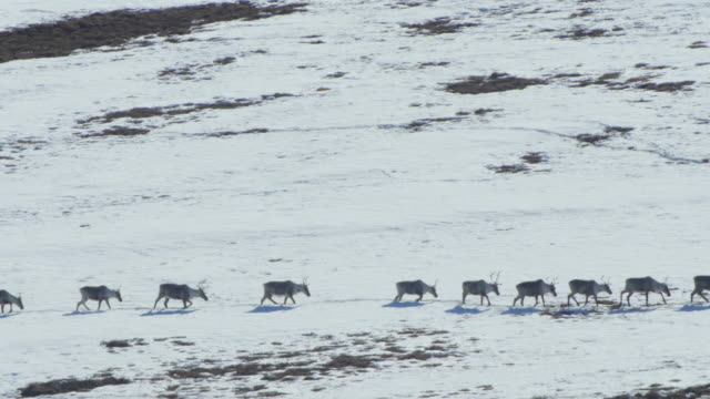 vidéos et rushes de caribou herd marching in a long line - caribou
