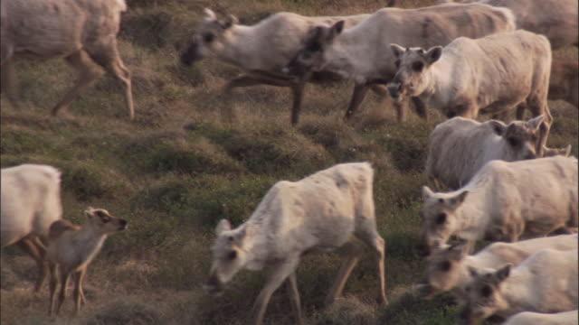 caribou herd migrates across tundra, nunavut, canada - herd stock videos & royalty-free footage