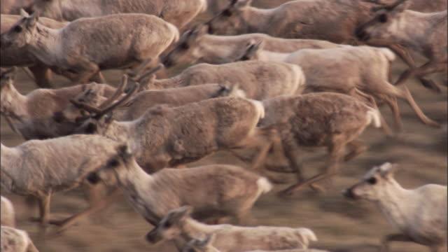 caribou herd migrates across tundra, nunavut, canada - migrating stock videos & royalty-free footage