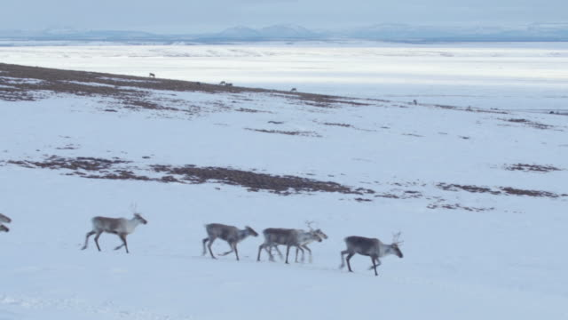 vidéos et rushes de caribou herd on the peak of a mountain - caribou