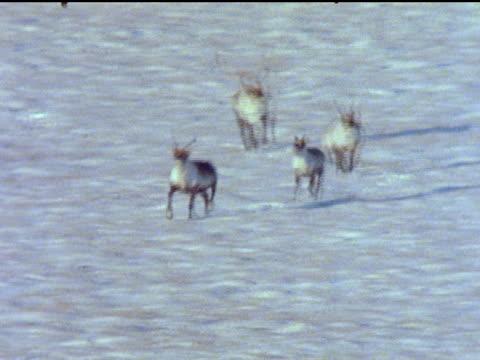 vidéos et rushes de caribou herd walks and prances across the snow. - groupe d'animaux