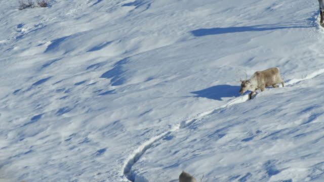 vidéos et rushes de caribou herd with shadows in snow - caribou