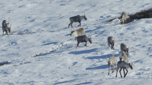 Caribou Herd zig zagging in a long line