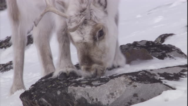 a caribou licks lichen from a rock in the snow. - svalbard and jan mayen stock videos & royalty-free footage