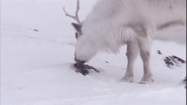 a caribou licks lichen from a rock near svalbard, norway. - svalbard and jan mayen stock videos & royalty-free footage