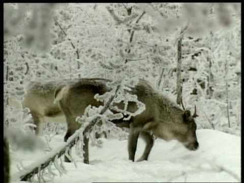 ms caribou, rangifer tarandus, foraging for food in the snow, arctic circle - foraging stock videos and b-roll footage