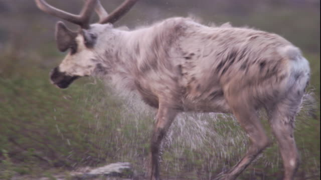 a caribou shakes water from its fur as it steps from a lake. available in hd. - migrating stock videos & royalty-free footage