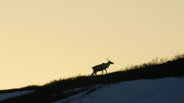a caribou silhouettes climbing a hill in the arctic - arctic national wildlife refuge stock videos & royalty-free footage