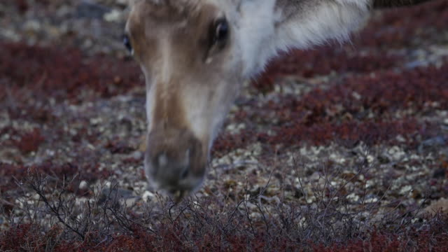 caribou surprised to see a person - arctic national wildlife refuge stock videos & royalty-free footage