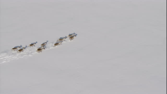caribou trek across deep snow. available in hd. - deep snow stock videos & royalty-free footage