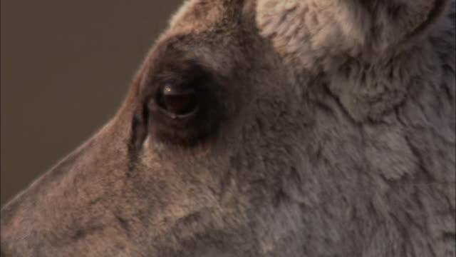 caribou walks across tundra, nunavut, canada - migrating stock videos & royalty-free footage