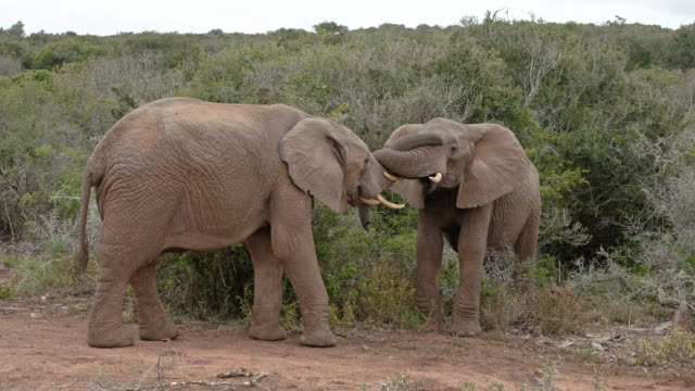 caring african elephants kiss and love - two young elephants - both with tusks - side by side - part-1: crossing trunks - kissing stock videos & royalty-free footage