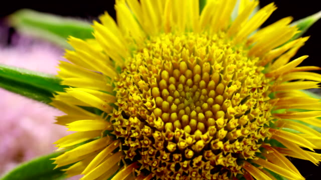 carlina thistle? blooming in time lapse video - natural pattern stock videos & royalty-free footage