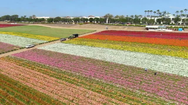 carlsbad, ca, u.s. - drone views of blooming flower fields at carlsbad ranch, on thursday, april 2, 2020. - carlsbad california stock videos & royalty-free footage