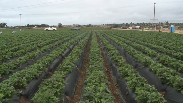 kswb carlsbad strawberry fields - カールズバッド点の映像素材/bロール