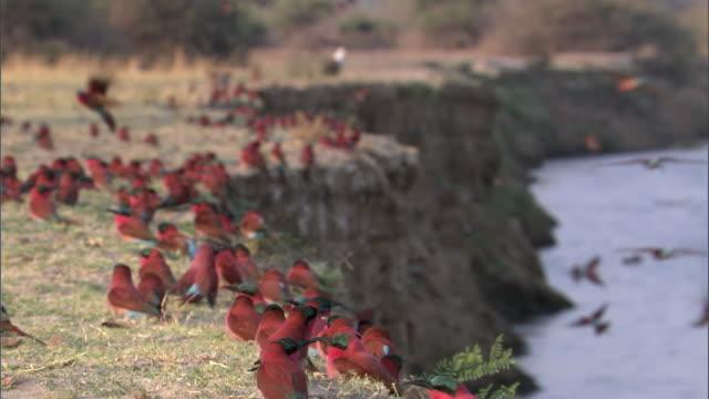 Carmine bee eater (Merops nubicoides) colony on riverbank, Luangwa, Zambia