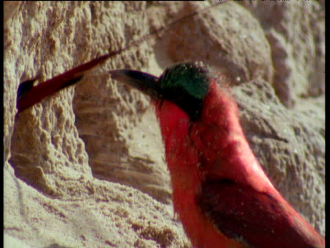 Carmine Bee Eater digs and sprays the sand into another's face, second bee eater shakes itself
