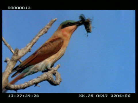 MCU Carmine bee-eater with grasshopper in beak, shaking it against branch