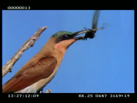vídeos de stock, filmes e b-roll de cu carmine bee-eater with grasshopper in beak - confinamento