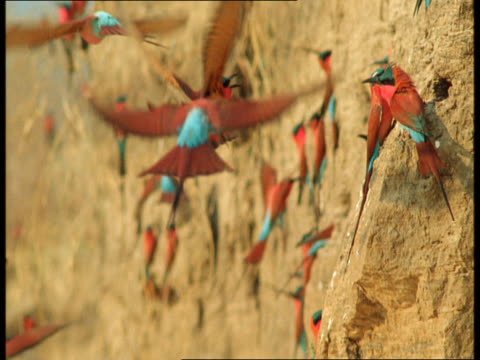 vídeos de stock, filmes e b-roll de carmine bee-eaters hover and land on the side of a cliff. - parte do corpo animal