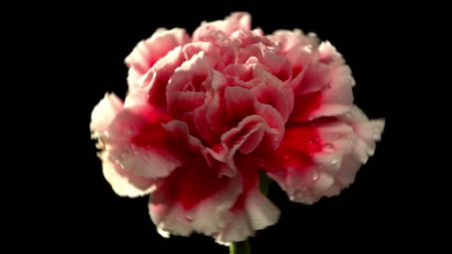 carnation flower in beautiful light with water drops - carnation flower stock videos & royalty-free footage