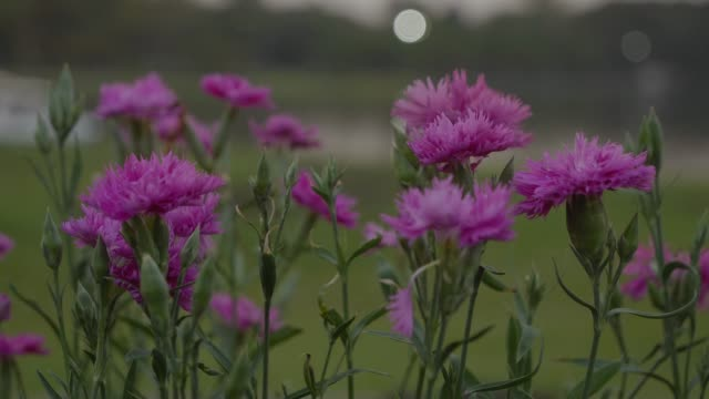 carnation flowers swaying in a breeze. - carnation flower stock videos & royalty-free footage