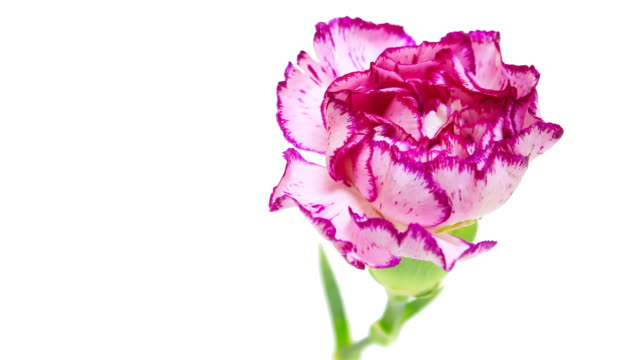 carnations blooming - carnation flower stock videos & royalty-free footage