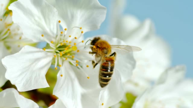 SLO MO LD Carniolan honey bee hanging on to the stamens of a white cherry blossom