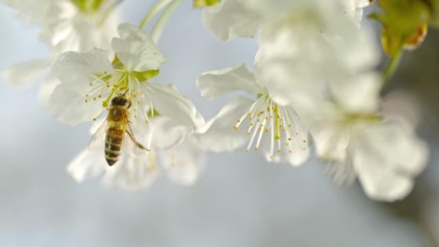 SLO MO LD Carniolan honey bee landing on a fragile cherry blossom stamen