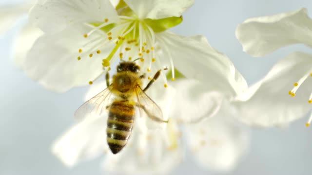 stockvideo's en b-roll-footage met slo mo ld krainer honingbij landing op de fragiele meeldraden van een witte bloesem van een kersenboom - honingbij