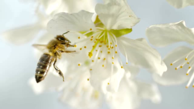 SLO MO LD Carniolan honey bee picking pollen on the stamens of a white cherry blossom