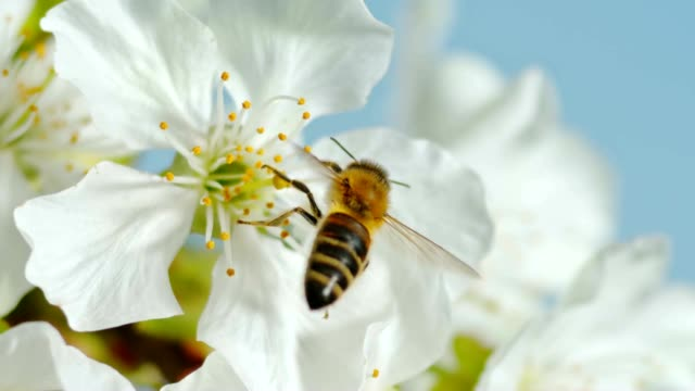 SLO MO LD Carniolan honey bee pollinating a cherry tree blossom