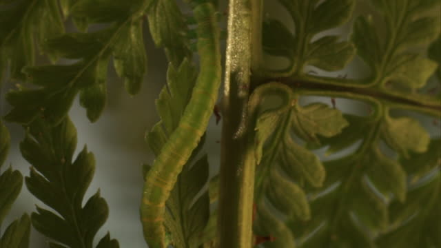 a carnivorous caterpillar investigates leaves as it clings to a stem. - camouflage点の映像素材/bロール
