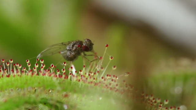 carnivorous plant - insectivore stock videos & royalty-free footage