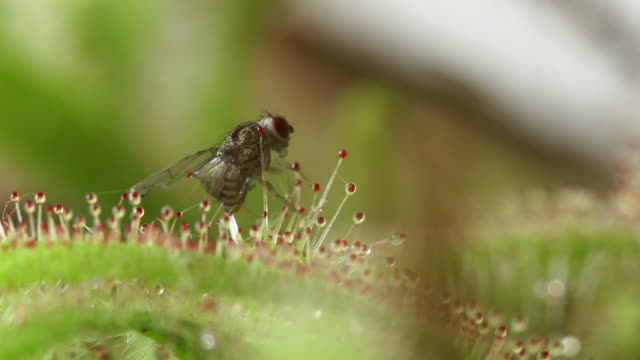 carnivorous sundew plant - sticky stock videos & royalty-free footage