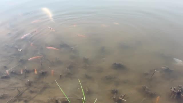 karper vissen zwemmen in meer