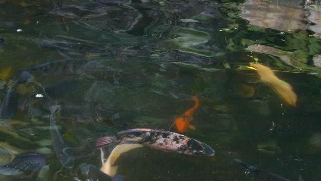 fische karpfen - rückenflosse stock-videos und b-roll-filmmaterial