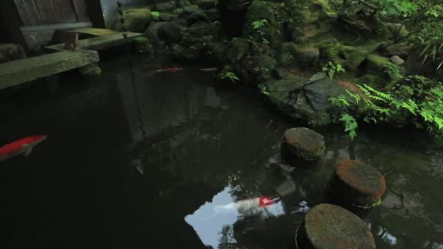 vídeos de stock e filmes b-roll de ms pan carp in small pond of wooden old house for samurai / kanazawa, ishikawa, japan - grupo médio de animais