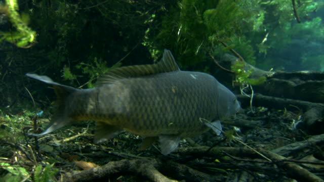 Carp swimming in Kakita River