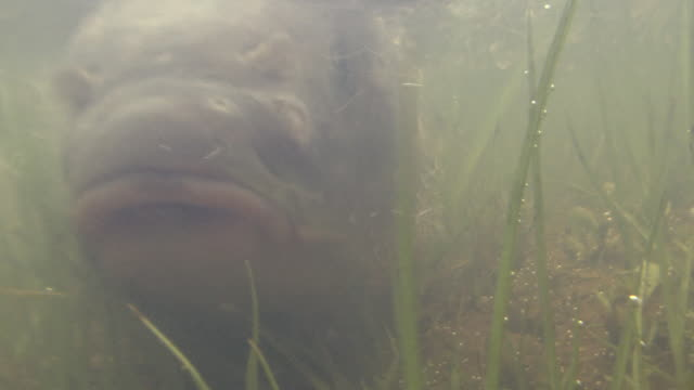 Carp Swimming In Water-laden Paddy