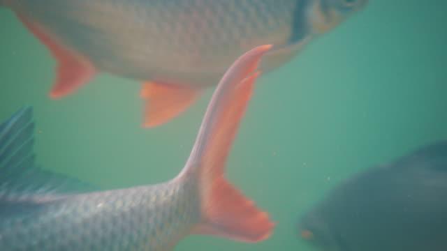 Karper onderwater