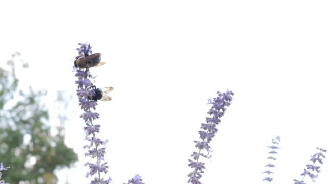 carpenter bee and russian sage flower - セージブラッシュ点の映像素材/bロール