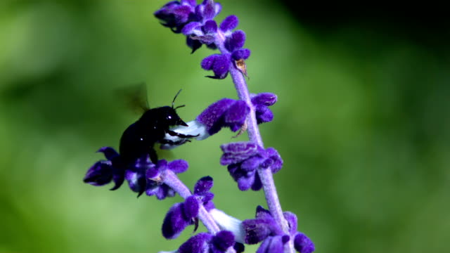 A carpenter bee drinks nectar from a purple delphinium flower before flying away. Available in HD.