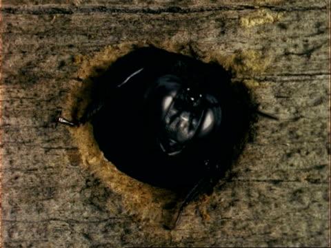 cu carpenter bee emerging from nest entrance, usa - 動物の頭点の映像素材/bロール