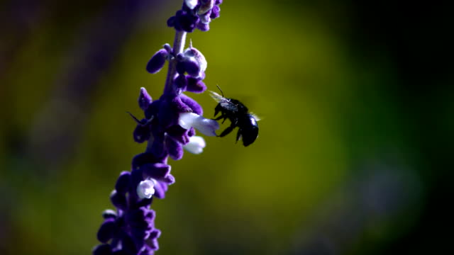 A carpenter bee flutters close to a purple Delphinium flower. Available in HD.